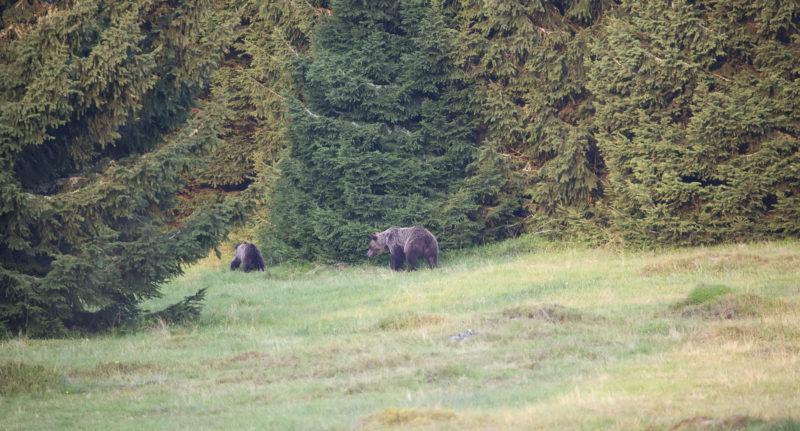 Víkendové focení medvěda hnědého na Slovensku