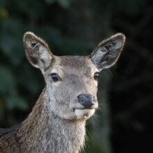 Sony A7R III + Animal Eye AF