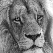 Lev Konžský s Animal Eye AF