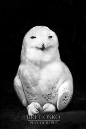 Sovice sněžní (Bubo scandiacus)