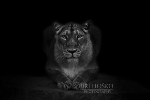 Lev indický (PANTHERA LEO PERSICA)